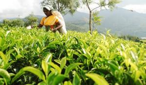 tea-crop